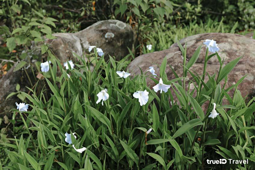 อุทยานแห่งชาติภูหินร่องกล้า ทุ่งดอกเปราะภูขาว