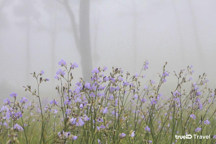 อุทยานแห่งชาติภูสอยดาว ทุ่งดอกหงอนนาค